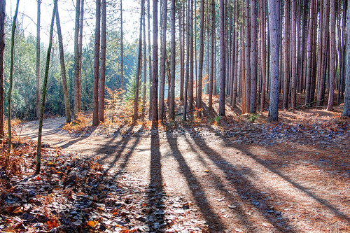 michigan alanson indianriver pines twotracks shadows forests pineneedles goforawalk walking roadside landscape pines11241 hdr11241 roads dirtroads roads11241 dirtroads11241 landscapes11241 landscape11241 crookedtreeartscenter petoskeycameraclub petoskeyphotographyclub crookedtreephotographicsociety robertcarterphotographycom ©robertcarter ngc
