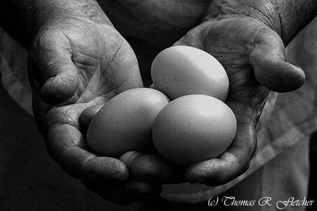 Hard-working Hands Gathering Eggs