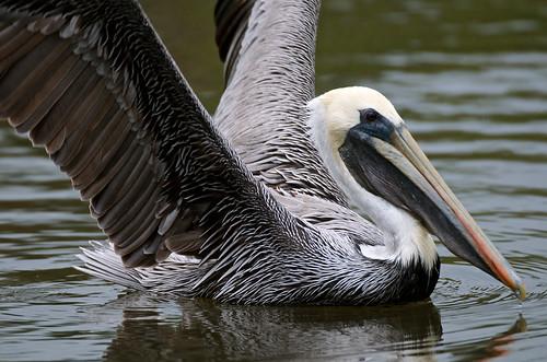 nature birds outdoors nikon florida pelican brownpelican shorebirds verobeachflorida nikond7000