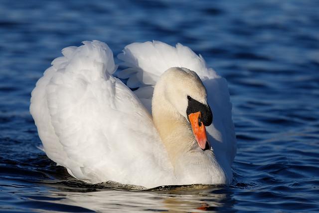 Mute swan (Westhay Moor) #4