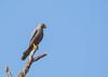 Grey Kestrel (Falco ardosiaceus) by piazzi1969