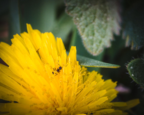 Ant on Dandelion | by rickmcnelly