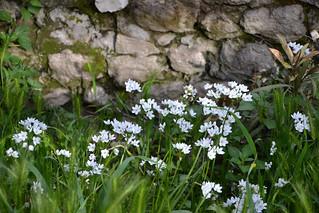 Allium neapolitanum | by pamina FJ