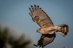 red-shouldered hawk flying to ground