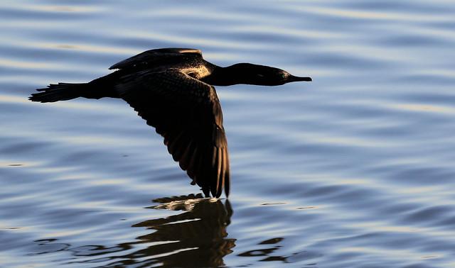 Cormoran noir - Lake Monger Reserve/Perth/WA/Australia_20170325_299