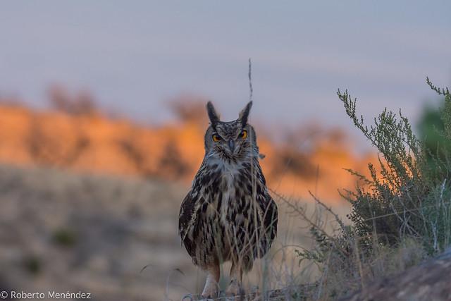 búho real,eagle owl(bubo bubo)