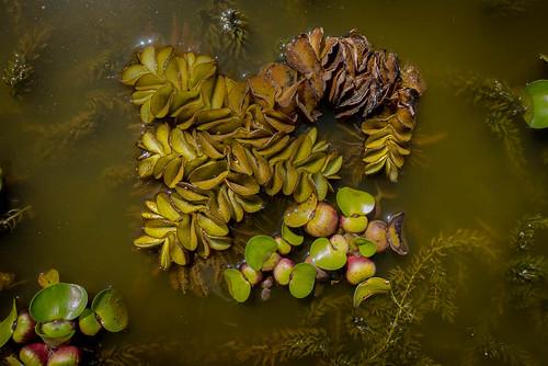 planteaquatique fleur kabbinakad karnataka inde ind