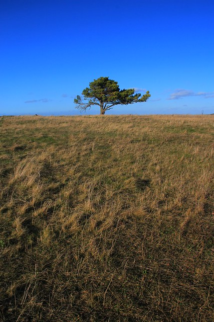 lonesome pine tree at windy place, Eifel highlands