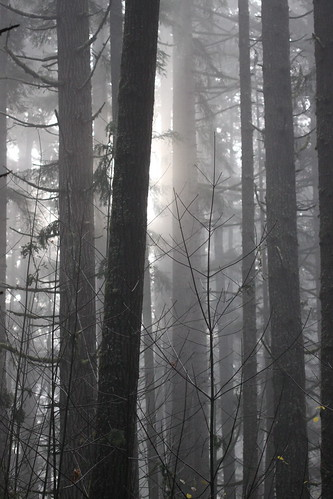 park trees mist fog forest washington state wa seaquest