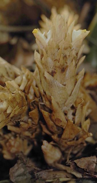 Amomum testaceum, Flecker Botanic Garden, Cairns, QLD, 28/11/12