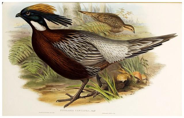 006-Kafiristan Pucras Pheasant-The birds of Asia vol. VII-Gould, J.-Science .Naturalis