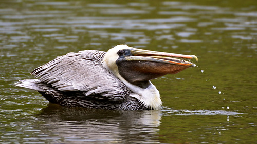 nature birds outdoors nikon florida pelican brownpelican shorebirds verobeachflorida nikond7000