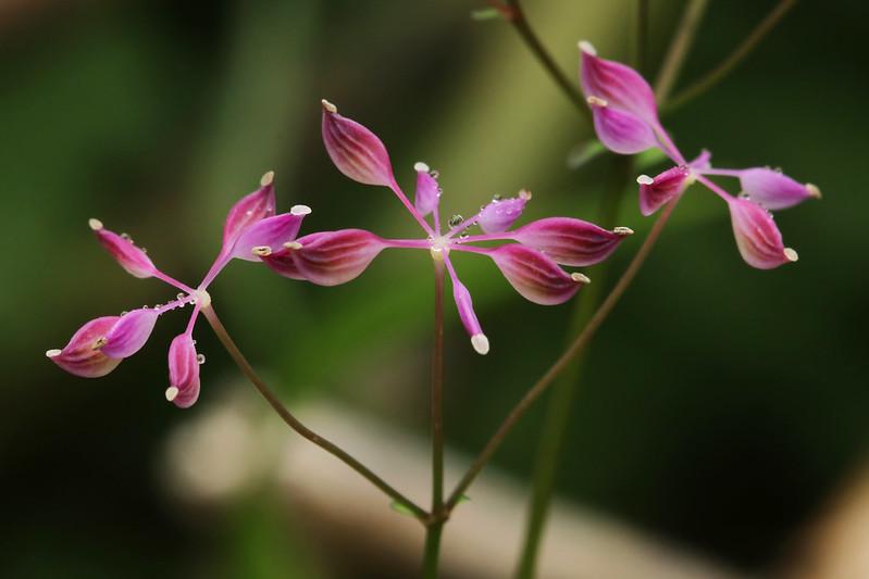 Thalictrum filamentosum var. tenerum (seed)   ミヤマカラマツ(実)