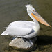 Dalmatian Pelican - Photo (c) M.Oertle, some rights reserved (CC BY-NC-SA)