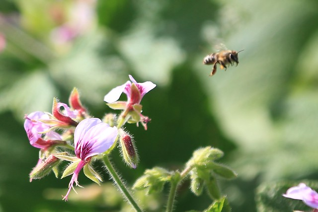 A bee flying away from a flower - Cape Town, South Africa, 2012