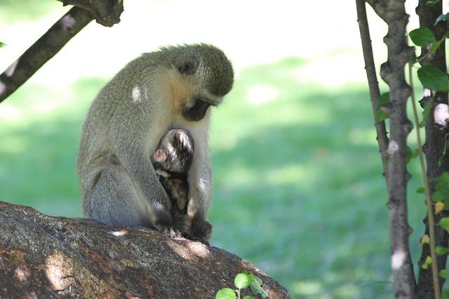 Awww - Baby black-faced Vervet monkey nuzzles its mother. Kruger, South Africa, 2012.
