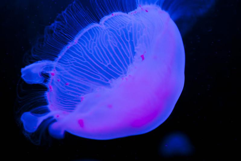 Lowlight jellyfish