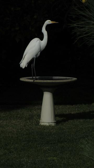 IMG_4985 great egret birdbath