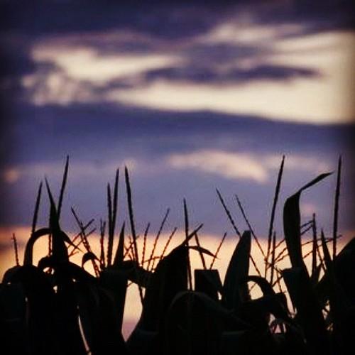 sunset summer sky rural corn michigan eavig uploaded:by=flickstagram instagram:photo=24211540483382238239420