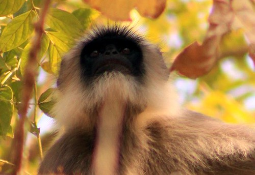 portrait india animal forest eyes view wildlife indian watching perspective expressions wise 75300mm langur canon500d nagarahole