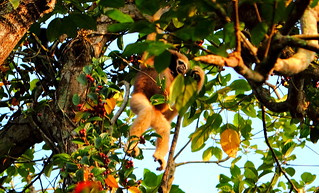 Hoolock Gibbon female 1 | by nirajbansal