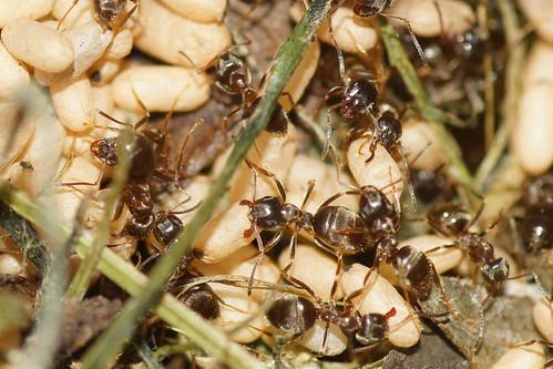 Gebrauchte Ameisen