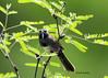 Five-striped sparrow - Amphispiza quinquestriata