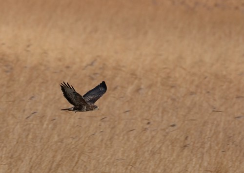 Buzzard scouting the marshes | by Cyclingrelf