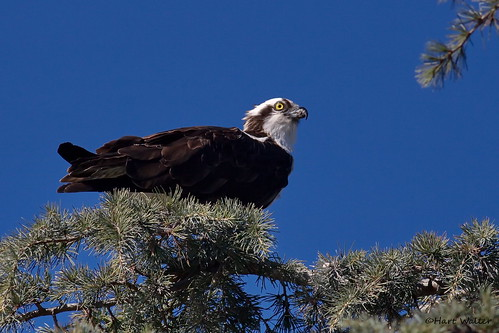 Osprey (Pandion haliaetus), feeding on cedar tree IMG_3799 | by Hart Walter