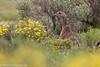 Gray-winged Francolin (Francolinus africanus), Sani Pass, LS, 2012-12-06--10.jpg by maholyoak