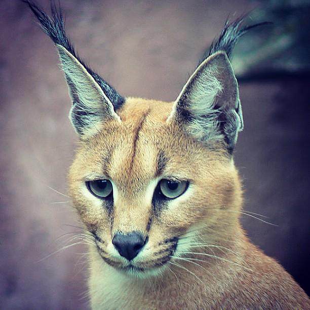 وشق الوشق الوشق العربي قط هر قطط حيوان حيوانات بري Flickr