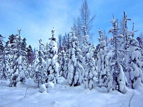 longexposure trees winter snow cold night forest moonlight