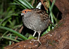 URU (Odontophorus capueira) by Dario Sanches