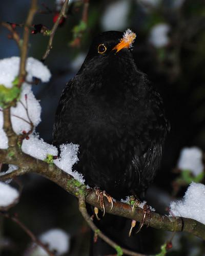 Blackbird Snowy Beak 20130113