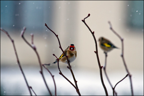 snowy goldfinch ... | by John FotoHouse