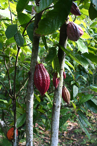 cabosses criollo cacao cacaoyer 5 | by delicesdinities