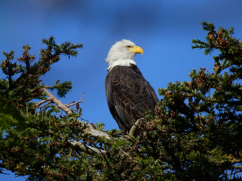 september 28 2016 14:40 - Eagle in The His & Hers Tree | by boonibarb