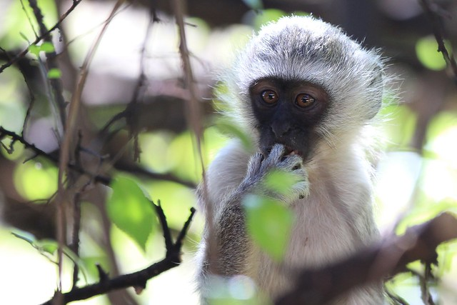 Oops - A young black-faced Vervet monkey looks puzzled. Kruger, South Africa, 2012.