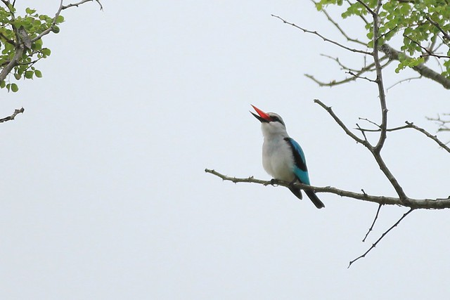 Woodland Kingfisher, singing - Pilanesberg, South Africa, 2012.