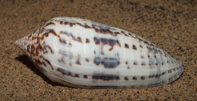 Austral cone snail (Graphiconus australis australis)