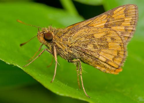 macro nature animal closeup fauna bugs macrophoto ramarama skipperbutterfly diyflashdiffuser smcpentaxdfamacro100mmf28wr hishammarmincom hishammarmin af160fcautomacroringflash pentaxk5iis k5iis