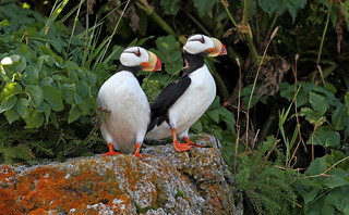 Horned Puffins [EXPLORE] | by tomblandford