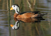 African Pygmy Goose by Wild Chroma