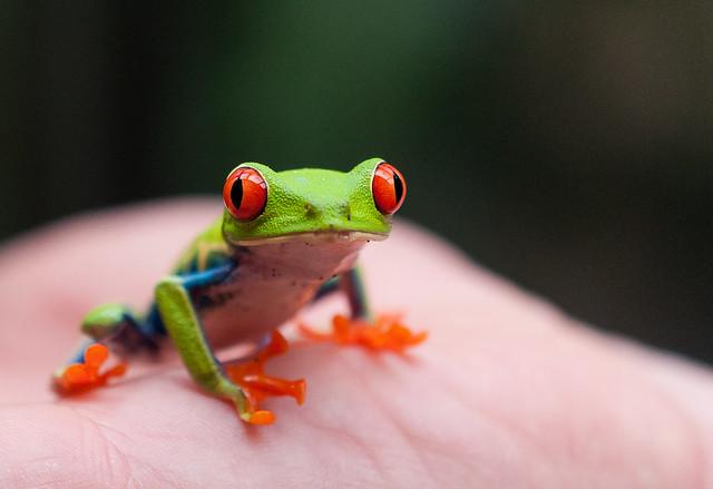 Agalychnis callidryas - Rainette Phylloméduse - Red Eye Tree Frog - San Carlos, Alajuela, Costa Rica - 17/03/2012 15h59