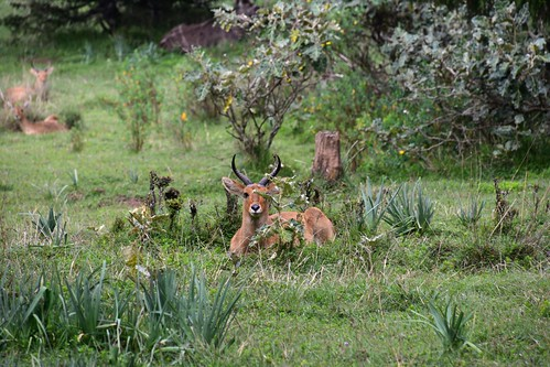 Reedbuck, Bale Mountains National Park (2) | by Prof. Mortel