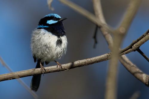 australia melbourne australianbirds superbfairywren maluruscyaneus woodlandshistoricpark hif2013