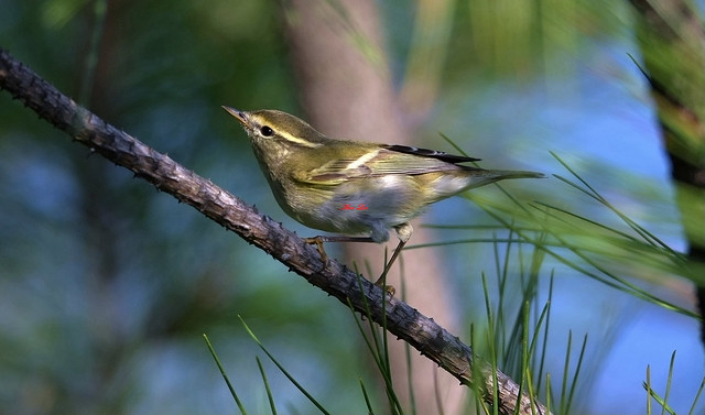 Yellow-browed Warbler 黃眉柳鶯(TW097) 6Z2K8636-1