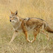 Flickr photo 'Coyote       canis latrans' by: funpics 47.