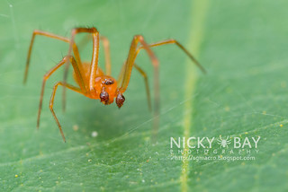 Comb-footed spider (Chrysso sp.) - DSC_4771