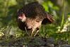 Swinhoe's Pheasant; Lophura swinhoii by jwsteffelaar